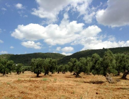 """Distese di ulivi che si susseguono dall'entroterra fino a toccare le coste, questa è la Puglia, chiamata anche il """" Paradiso dell'olio""""."""