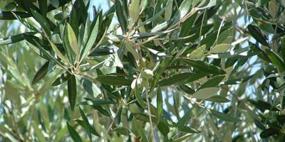 Cultivar Ogliarola