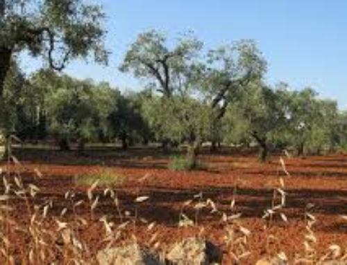 Dall'oliva all'olio: le tecniche olearie nella storia